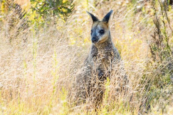 native-Kangaroo-wildlife-park