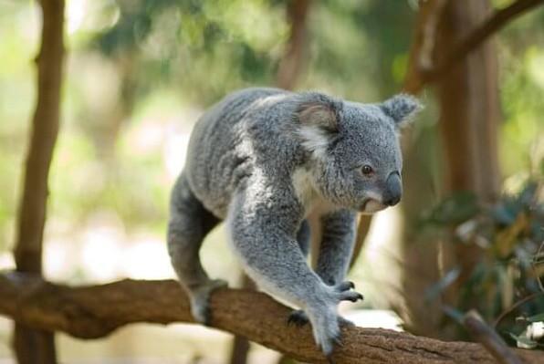 Lone Pine Cruise NRL Koala