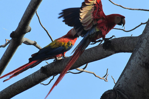 parrot-carara-costa-rica