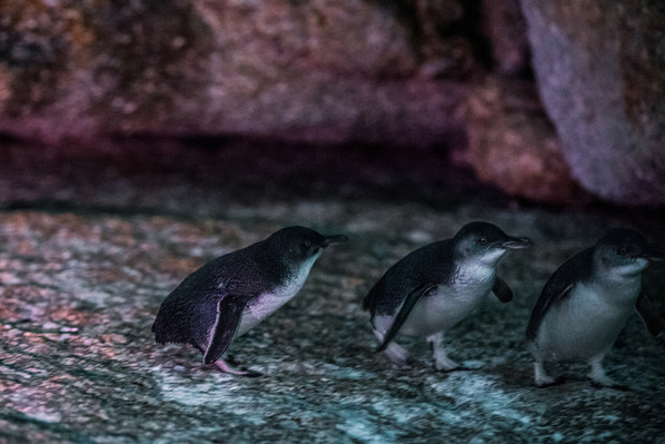 tasmanian penguins.jpg