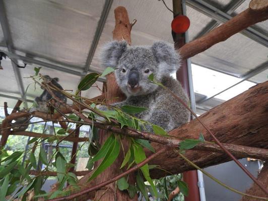 Kuranda Koala Photo