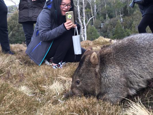 wombat cradle mountain tour