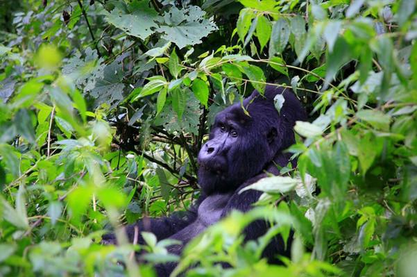 Gorilla spotting South Africa