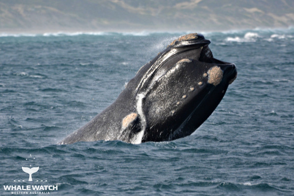 Humpack Whale Watching Augusta