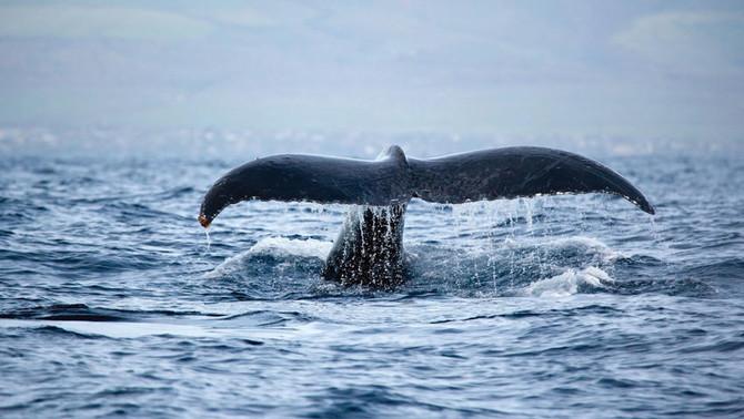 Waikiki Whale Watching Tour