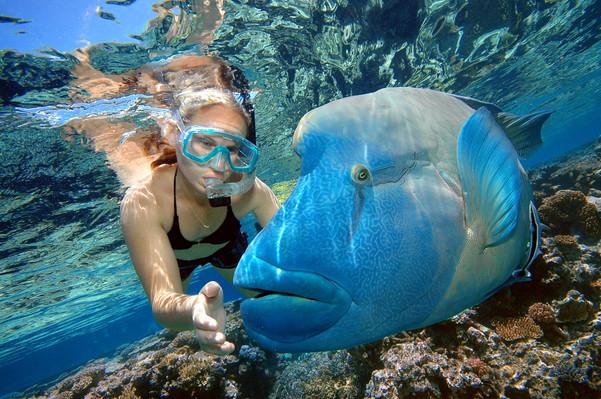 Snorkeller & Maori Wrasse (Reef Magic Cruises, Cairns