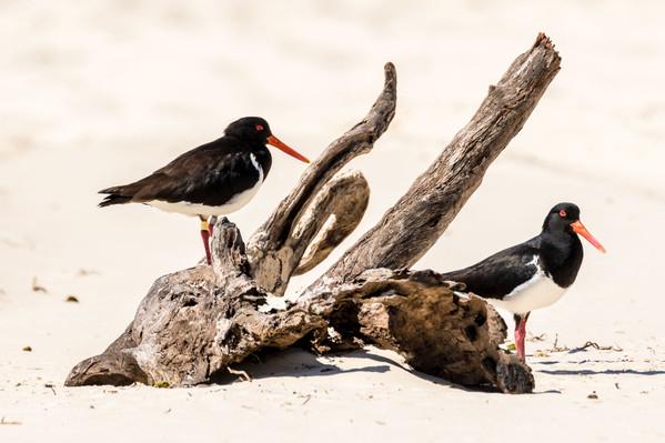 Australian-native-wildlife