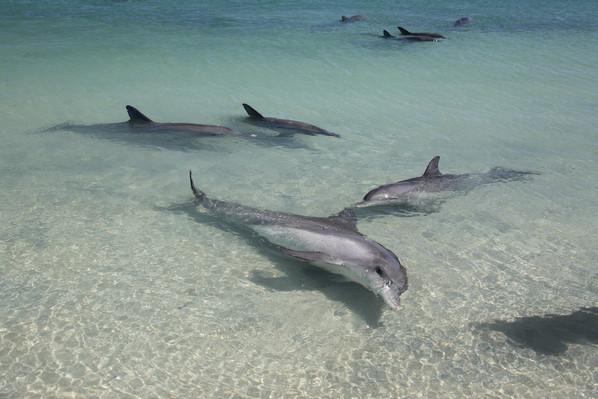 Dolphins at Monkey Mia, Shark Bay, Australia's Coral Coast 107050.jpg