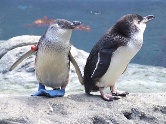 penguin feeding Christchurch new zealand