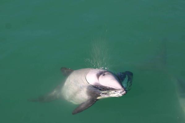 dolphin akaroa nature cruise