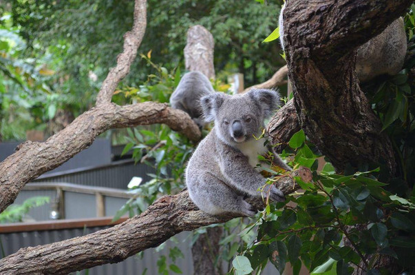 Kuranda Koala Gardens deal