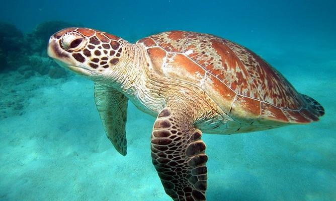 reef-daytripper-turtle