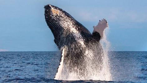 2 Hour Waikoloa Whale Watching Tour