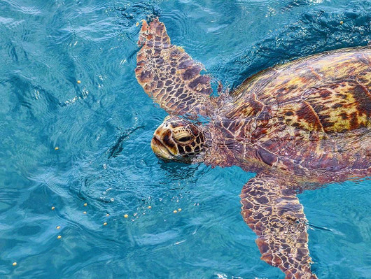 Hawaii Glass Bottom Boat Tour Turtle