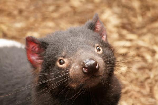 Tasmanian Devil Tour deals