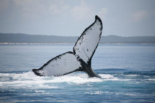 cheap whale watch hervey bay