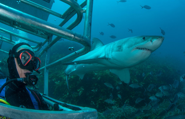 Shark Cage Diving Port Lincoln