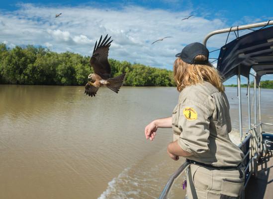 Whistling HawkSpectacular Jumping Crocodile Cruise - copyright 2.jpg