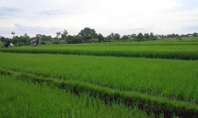 tour rice field bali