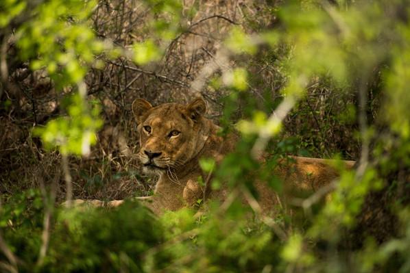 wild cat spotting Africa