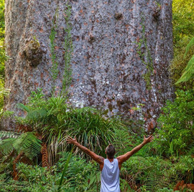 Daylight Encounter With Kauri Trees In Waipoua Forest
