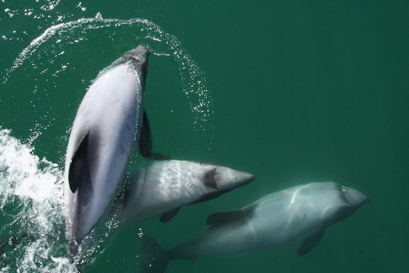 akaroa deal dolphin cruises