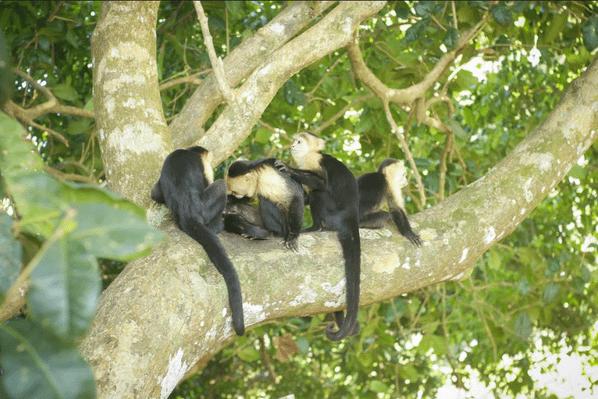 monkey-manuel-antonio
