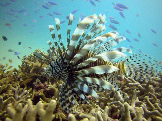 Reef Magic Cruises Lion Fish