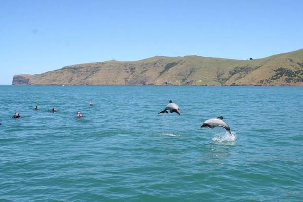 akaroa dolphin cruise experience