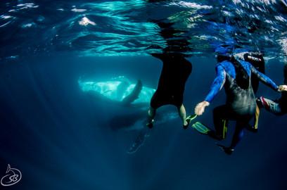 Humpback Whale Swim Tour - Ningaloo Reef