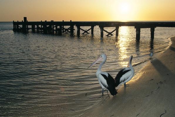 Australian pelicans, at Monkey Mia, Australias Coral Coast, Shark Bay, Tourism WA, 100437.jpg