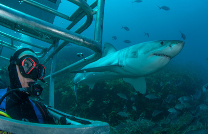 4 Day, 3 Night Great White Shark Cage Diving Expedition