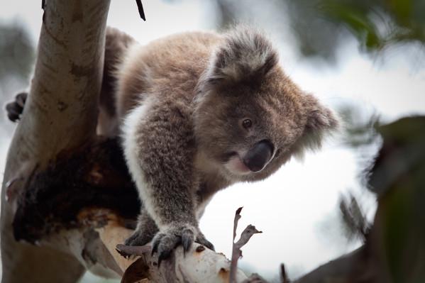koala-tour from Melbourne