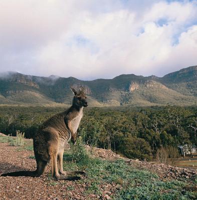 kangaroos tour