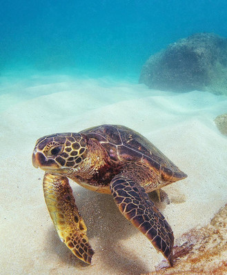 Hawaii Turtle Tour